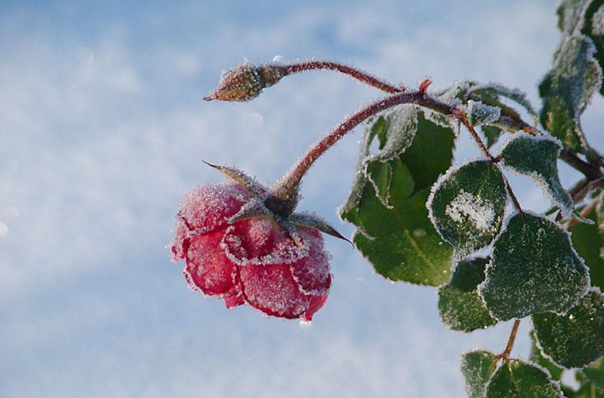 Impressionen vom Weßlinger See - Rose im Frost